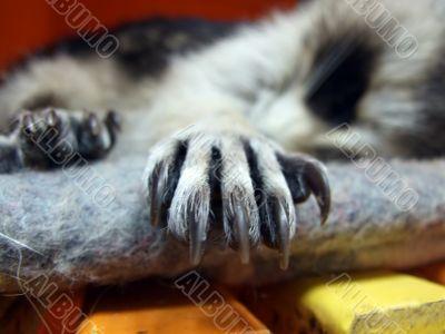 Raccoons Paw