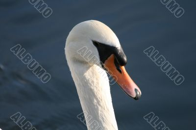 Head of a Proud Swan