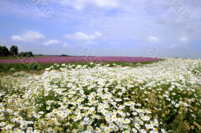 The camomile and epilobium blossoms in a floor