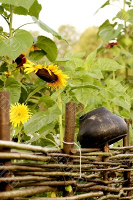 wicker fence, sunflowers and pot