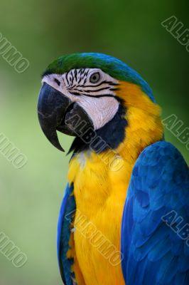 Blue Macaw Parrot Portait