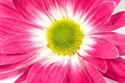 pink marguerite