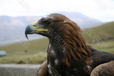 The large predatory bird.