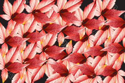 Many-colored  leaves