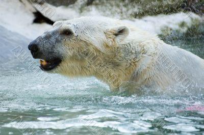 white bear active