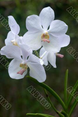 delicate white orchids