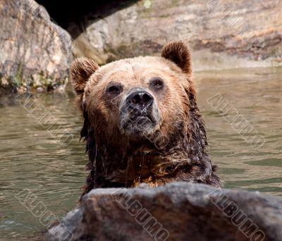 Grizzly taking a bath