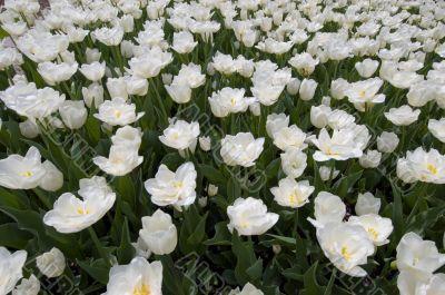 white tulip madness