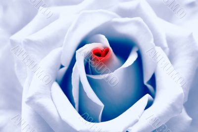 Love birth: blue toned rose with heart symbol in center