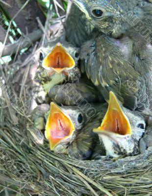 Song-thrush nestlings