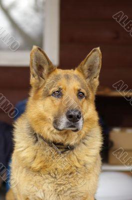 German sheep dog