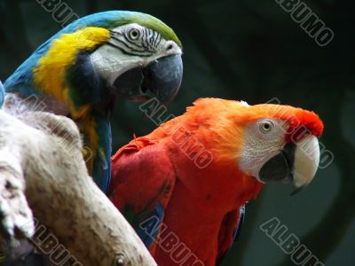 Parrot of the Ara