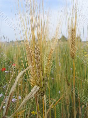 Ears in a field