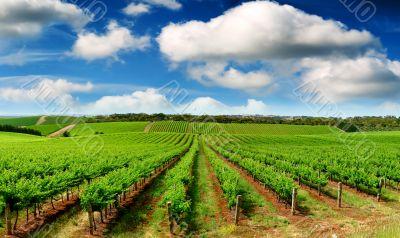 Green Vineyard Landscape