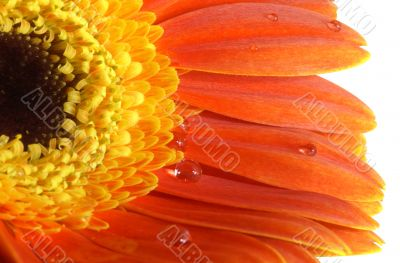 gerbera-daisy with a water drops