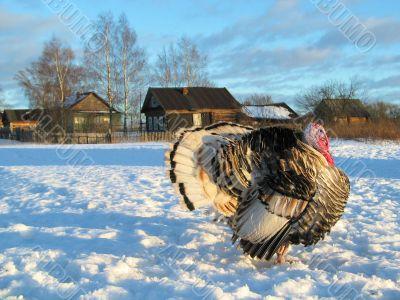 Turkey-cock in winter