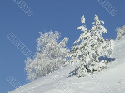 Snow-covered fir or pine
