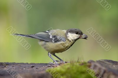 coal tit with grain in the beak