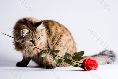 Young cat for Valentine