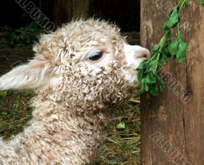Baby Lama in Peru