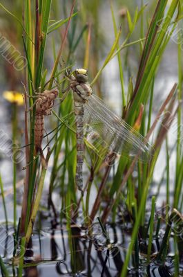 emergence of dragon fly