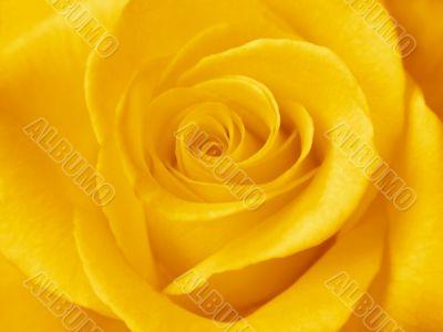 A beautiful yellow rose. Close-up