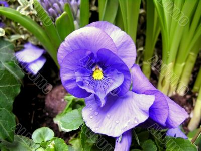 Colorful heartsease with water droplets