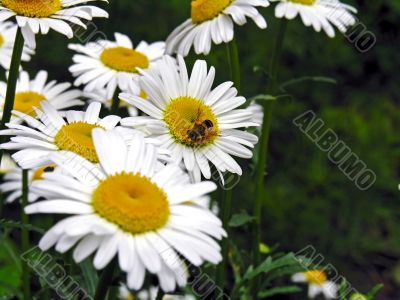 Bee on a ox-eye daisy with copy-space