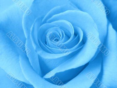 A beautiful blue rose. Close-up
