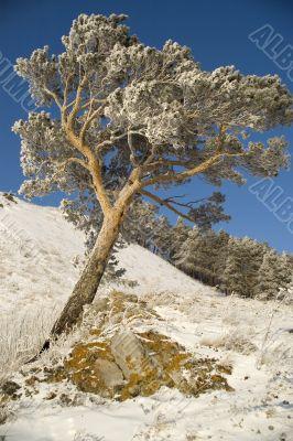 Snowy winter tree.