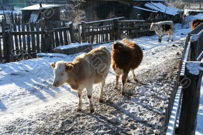 Cow and snow in Altai in winter