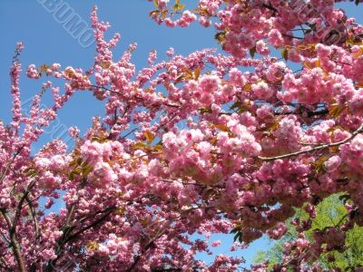 Cherry tree branch in spring bloom