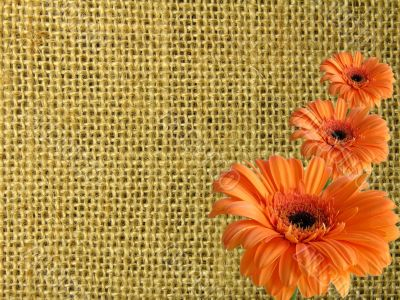 Texture from canvas with three orange daisies
