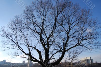Winter bare pompous tree`s branches