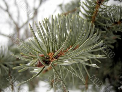 Branch of the pine.