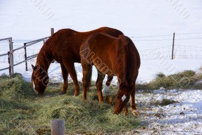 Pair of brown horses grazing in winter pasture