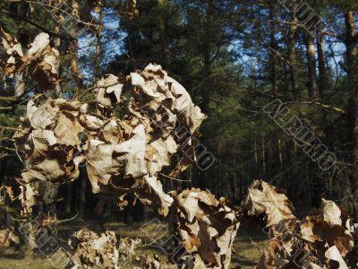 autumn oak foliage