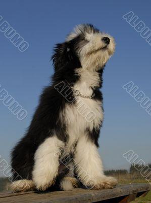 puppy berdead collie