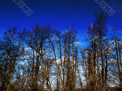 trees in winter against rich blue sky