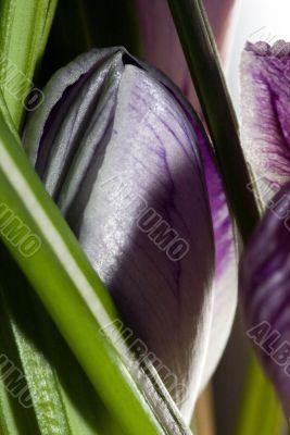 Purple wild crocus open in sunlight