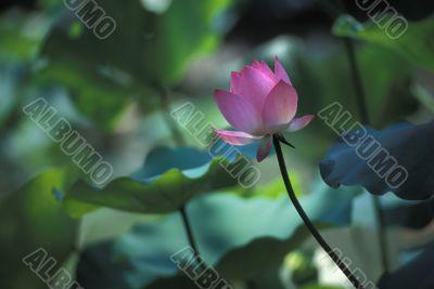 Lotus flower on slender stem