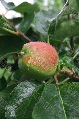Ripening apple after a rain
