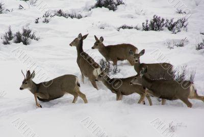 Mule deer herd in deep snow