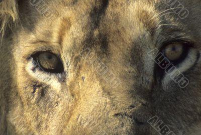 Male lion resting, head