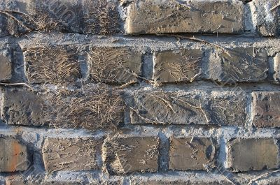 Old brick wall with traces of convolvulus.