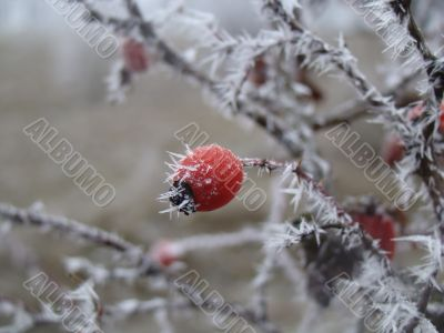 dogrose berry in frost