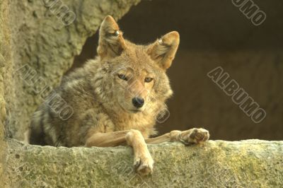 The red wolf on rest