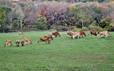 Grazing cows with fall colors background