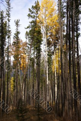 Lodgepole pines, and aspens