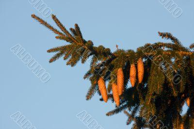 The fir bough